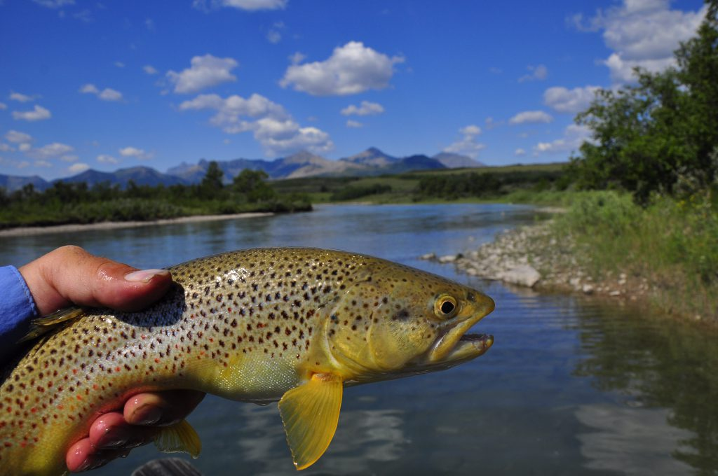 Waterton River Brown Trout