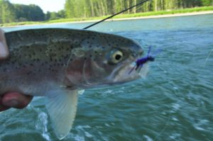 Bow River fish are crushing Chubby's