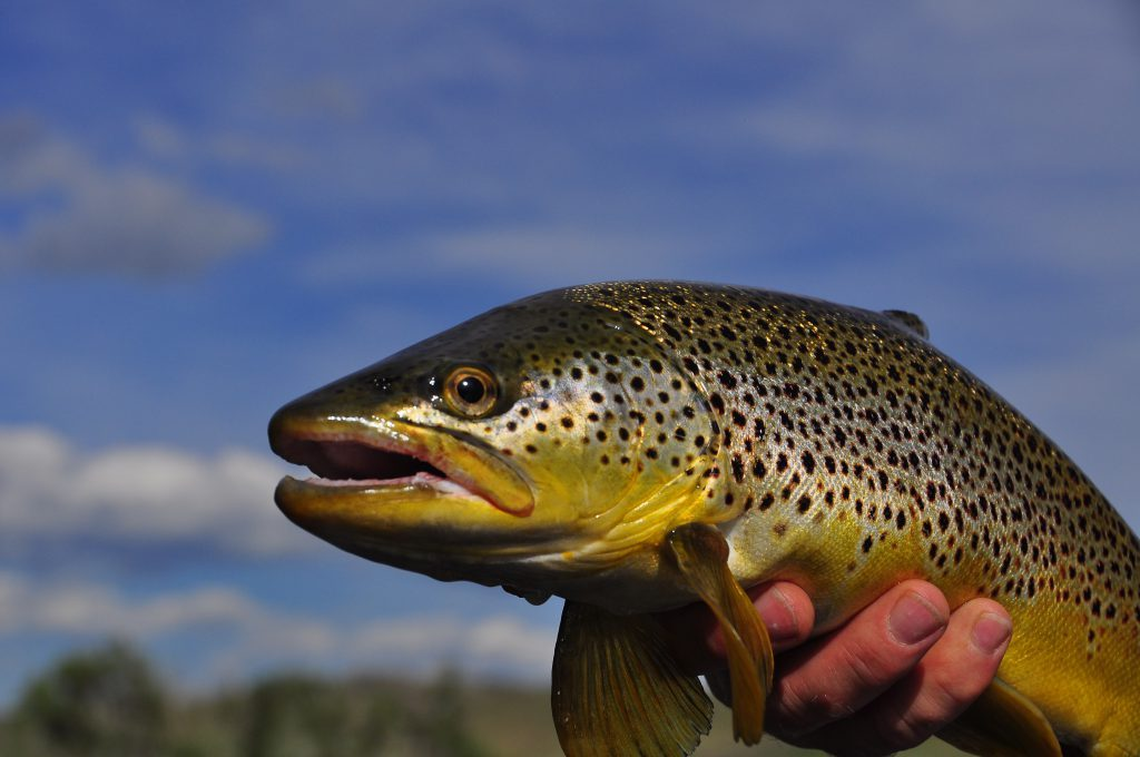 Missouri River Brown Trout
