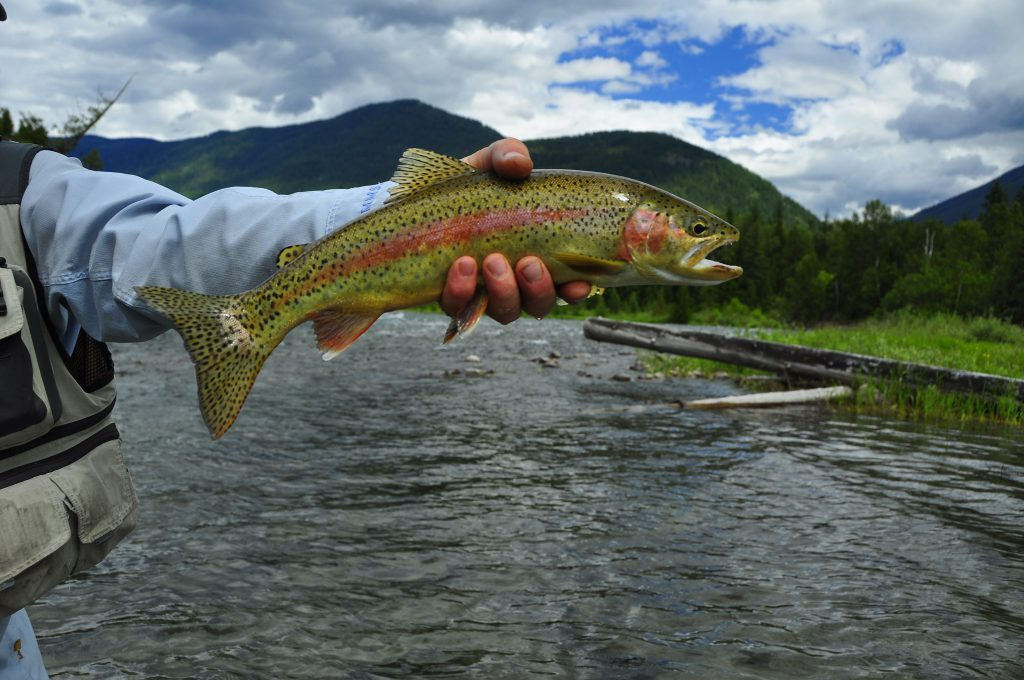 Slocan Redband Rainbow Trout