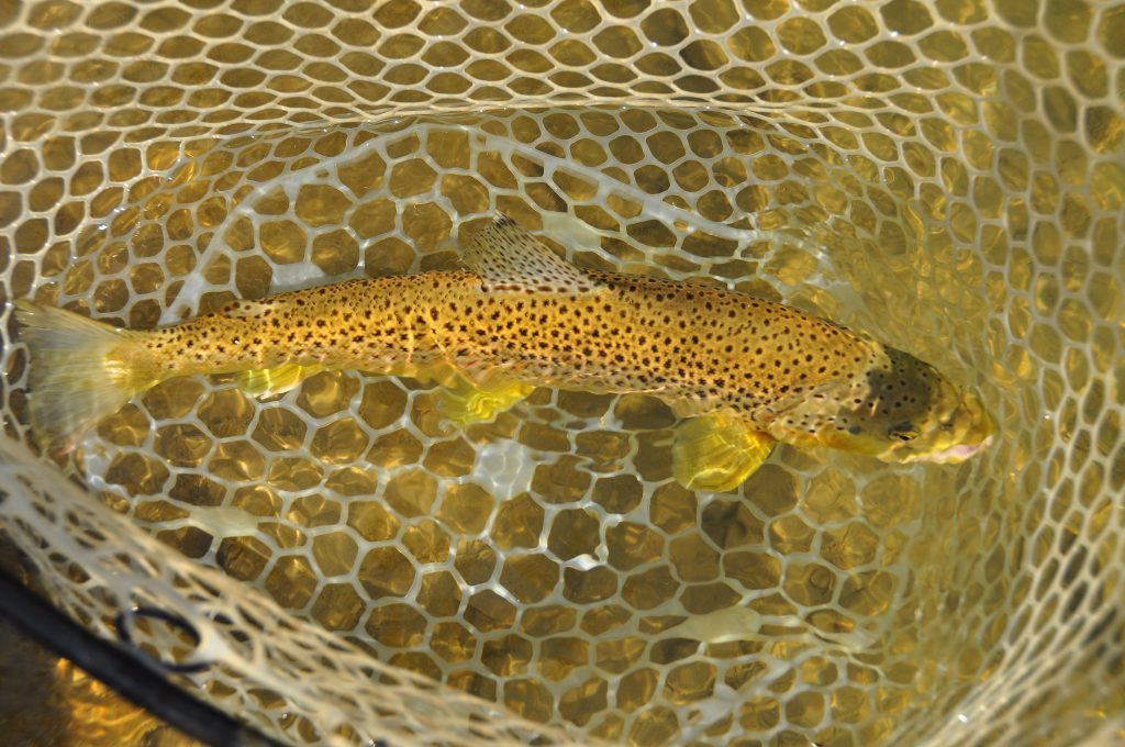 Bow Brown Trout