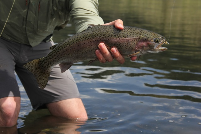 Montana Fly-Fishing - Missouri River Rainbow