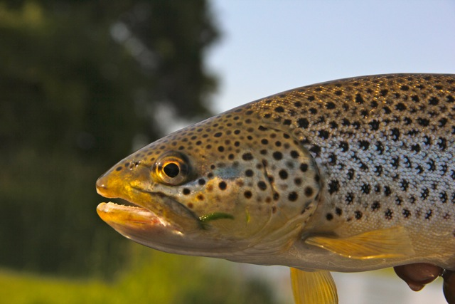 Montana Fly-Fishing - Missouri River Brown Trout