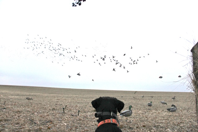 Ducks -Saskatchewan Waterfowl Hunting Guides