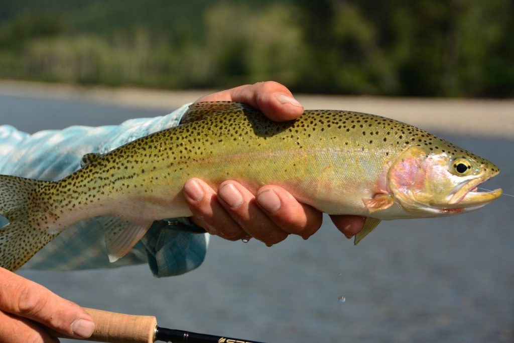 Upper Oldman River Cutty