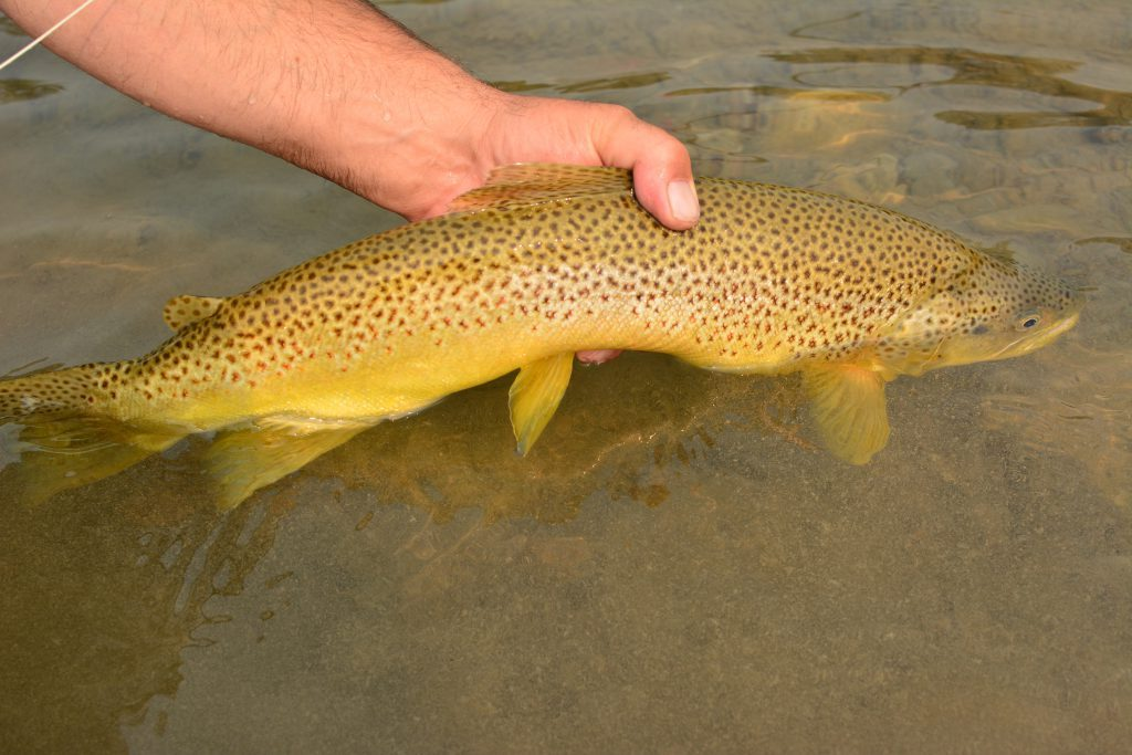 Waterton River Hopper eater