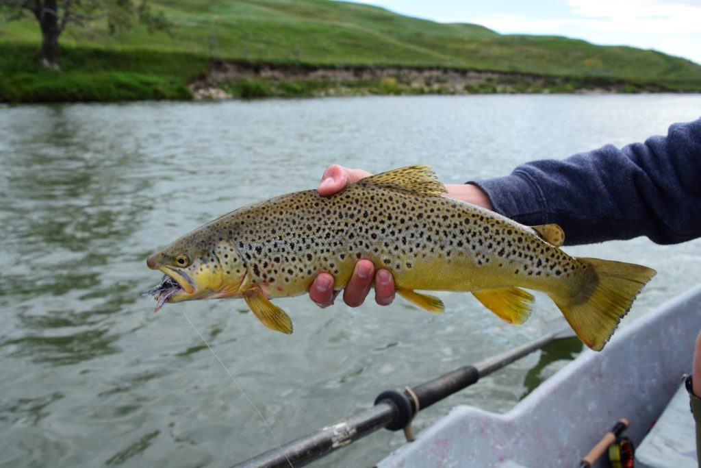 Streamer eating Bow River Brown Trout